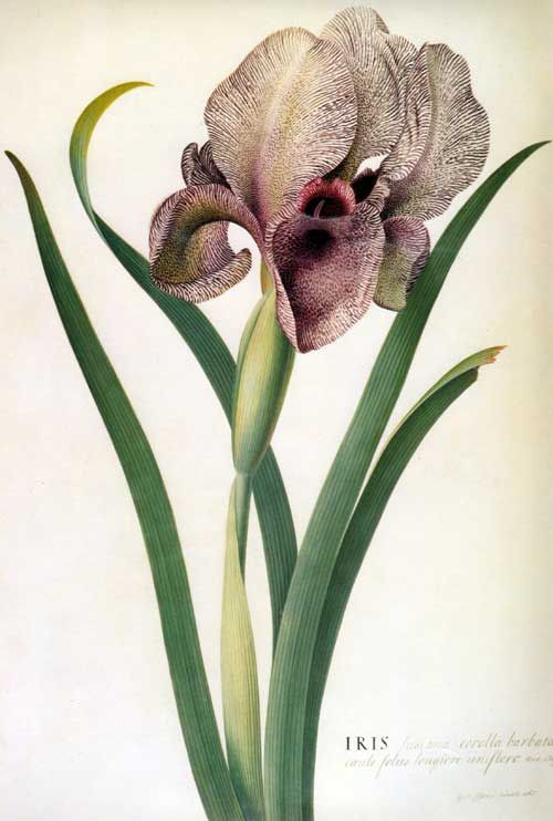Iris susiana by Georg Ehret (1708-1770)