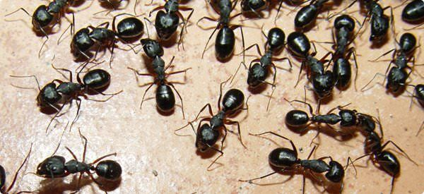 How to use home remedies for ants to get rid of them? Ants are constructive insects by nature. Apart from a few, most among the known 12,000 species o...