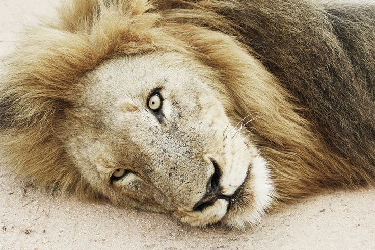 Close-up by Tracy Wilkin on 500px. Lions, Kruger National Park, Safari, South Africa, wildlife.