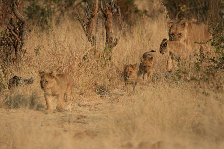 Cecil's grand-cubs at Linkwasha #Hwange #Zimbabwe #safari