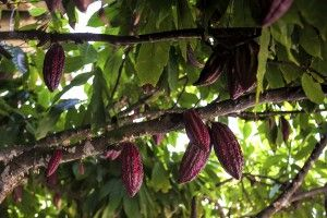 Tea Leaves, Coffee Trees, and Cocoa Beans all come from plants and all provide enjoyment and benefits to people.
