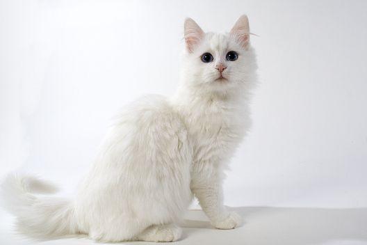 Koty długowłose czy półdługowłose?
