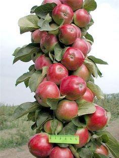 Колонновидные яблони: плюсы и минусы   Дачный сад и огород