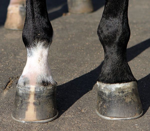 A study by the Animal Health Trust in Newmarket, England, has found a correlation between the shape of a horse's hooves and his state of soundness.
