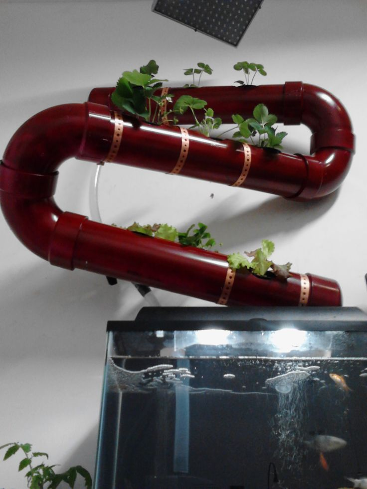 This is something I put together using things easily available at your local hardware store. It's to demonstrate how aquaponics can be adapted to work with just about anything. This unit has kept the small koi in water pure enough for a human to drink for over a year. Never once has there been a need to change out the water, only add because of evaporation. The koi have since moved to a new bigger home and now it contains only pearl scale goldfish.