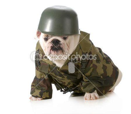 Cane militare - bulldog inglese indossa esercito fatiche o costume isolato su sfondo bianco
