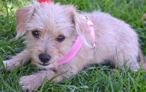 Lilli, Brussels Griffon/Cairn Terrier mix