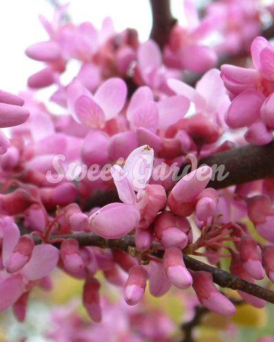 Arborele lui Iuda (Cercis siliquastrum) | Sweet Garden