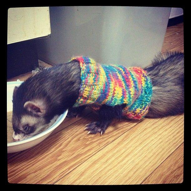 Cute ferret in sweater =)