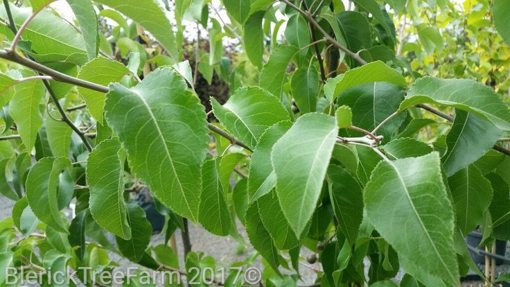 Pyrus calleryana – Winter Glow – Purchase Bare Rooted Trees Online