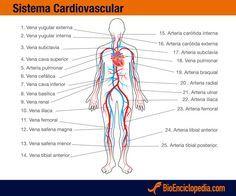 Sistema Cardiovascular - Información y Características - Biología