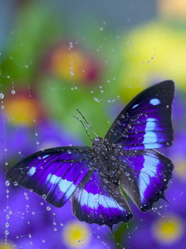 ~~Prepona Butterfly Caught in Dew by Darrell Gulin~~