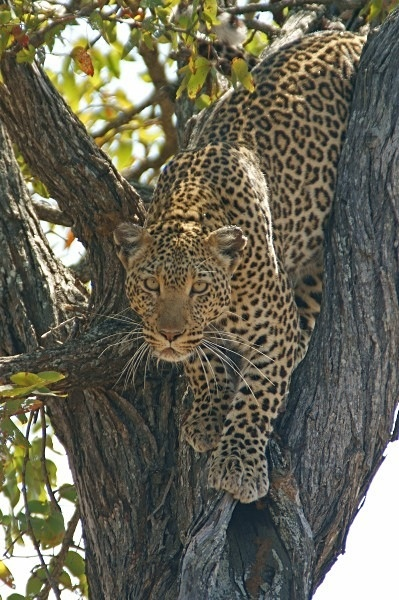 African Leopard, Timbavati, South Africa