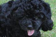 Locksy @ 7 weeks --LuckyLocks Kennel