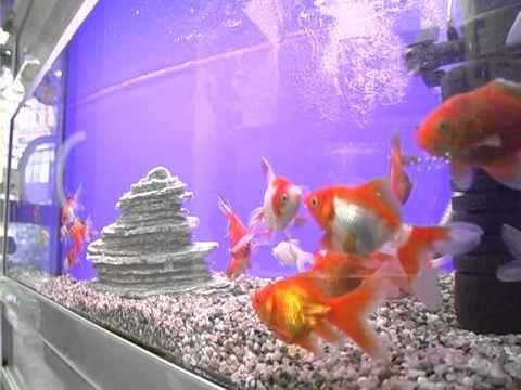 Золотая рыбка. Содержание, уход, размножение. Аквариум. (часть 2). - YouTube