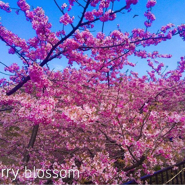 【sacu718】さんのInstagramをピンしています。 《GM🌸 ・ 大好きな季節到来💓 ・ 少し早めの#河津桜 ・ 今年も早く見に行きたいな〜っ💜 ・ ・ #お花 の中で1番好きな花 は ・ ・ ダントツで桜💜 ・ ・ なんでかわからないけど ・ ・ 高校生ぐらいの時から ・ ・ 桜🌸が大好き💓 ・ ・ 桜🌸を見るとね ・ 心が突き動かされるような感覚になるの ・ ・ 毎年必ず行く、穴場の場所があるので ・ 今年も行ったら ・ #ゴープロ でチャレンジしてみよう💜 ・ ・ #桜 🌸 と#菜の花 のコラボスポット 💓で ・ 桜の山みたいなのがあって ・ その桜の山の丘の上に登って見下ろす#景色 は#最高 ・ ・ 帰りは毎年#御殿場アウトレット  寄って帰るのが ・ お決まりコース💜 ・ ・ 是非伝えたいから また、ポストさせてね💜 ・ ・ よし、これ見て今日も、頑張るぞー💓 ・ ・ #スタバ の桜シリーズも楽しみ💜 ・ ・ 実は#桜のタンブラー  マニアだったりする(笑) ・ ・ #桜#河津桜 #花見 #桜山 #足柄 #菜の花 #gopro…