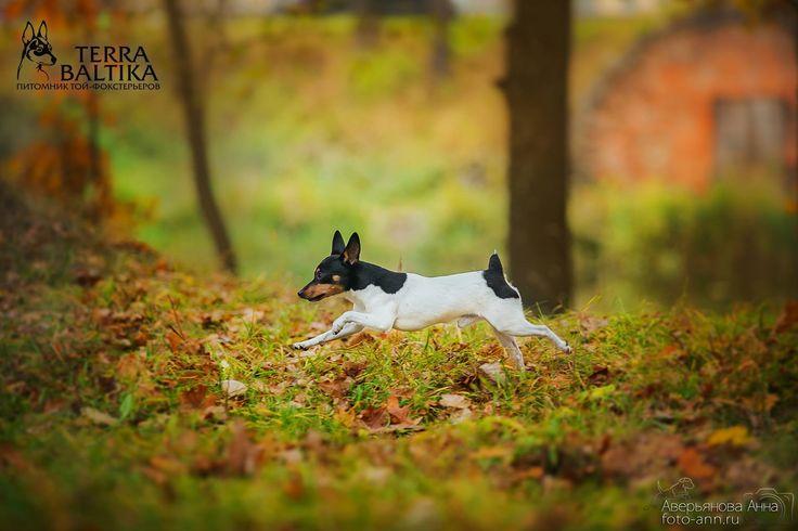 Toy Fox Terrier. By Averianova Anna.