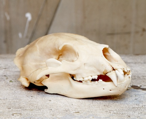 Mmm.. I wonder if my uncle kept the skull of the dogs he ate.   *Bataknese People eat dog!