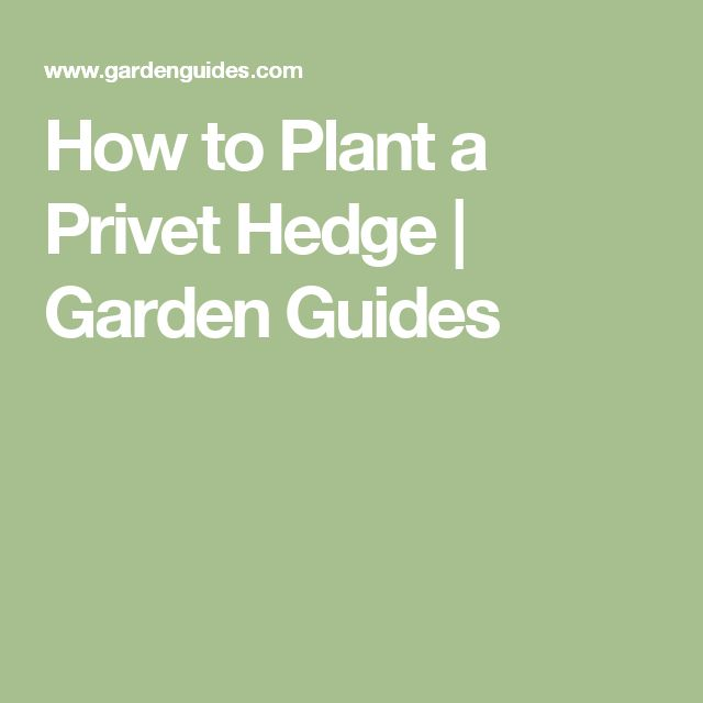 How to Plant a Privet Hedge |  Garden Guides