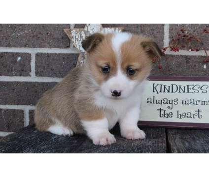 sift sable Pembroke Welsh Corgi puppies available for adoption is a Female, Male Pembroke Welsh Corgi Puppy For Sale in Pinellas Park FL