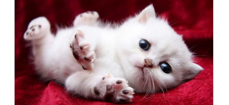 Want to train your Russian white cats?  #cats #Petsworld