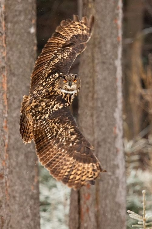 Great Horned Owl - swoop and turn