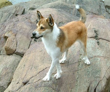 Originally used in Norway to hunt for Puffins, the Lundehund has six toes on each foot, prick ears that it can control at will, and the ability to tip its head backward to touch its backbone. The Norwegian Lundehund is unlike any other breed
