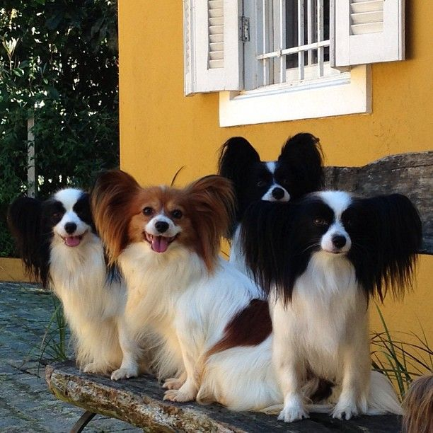 "Papillon ""Butterfly"" Puppy Dog"