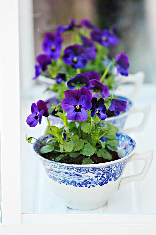 pretty pansies in cups