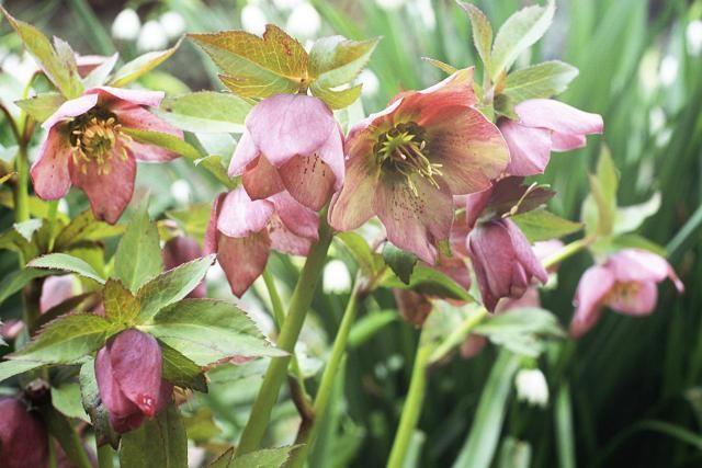Lenten Rose Plants - Heavenly Hellebores