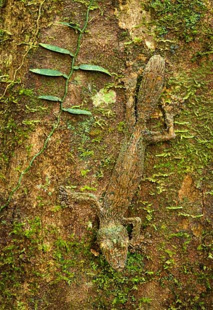 A leaf-tailed gecko camouflaged on a mossy tree trunk in the rainforest of the Masoala Peninsula National Park, north east Madagascar