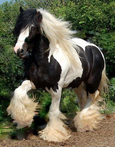 Gypsy stallion named 'Timone of Lion King' - from Thorn Hill Gypsies