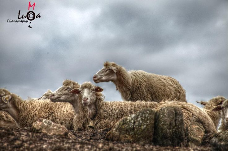 Sheep attention please!! by Luca MoiPhotography