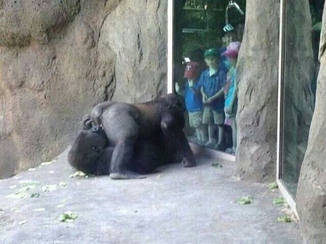 people having sex with apes