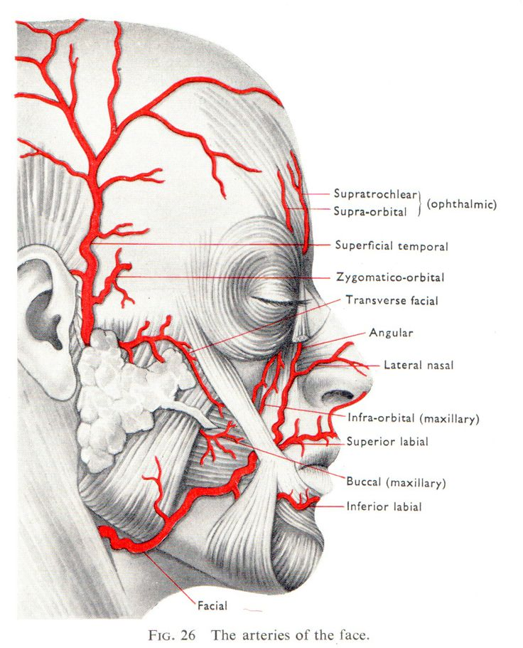 Facial arterial blood supply