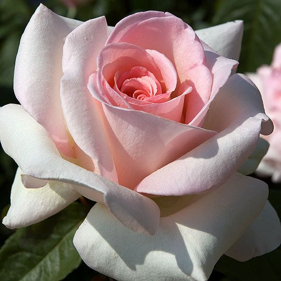 The 2013 All-America Rose Selections winner is 'Francis Meilland Hybrid Tea Rose' - 7 feet tall & 3 feet wide