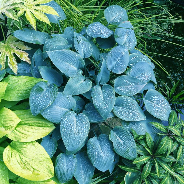 "Daily Flower Candy: Hosta ""Halcyon"" AGM – The Frustrated Gardener"