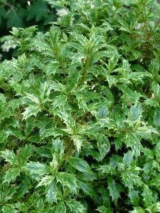 Osmanthus 'Goshiki' ~ has holly-like evergreen leaves