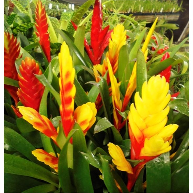 Find 100mm Ornamental Vriesea Bromeliad at Bunnings Warehouse. Visit your local store for the widest range of garden products.