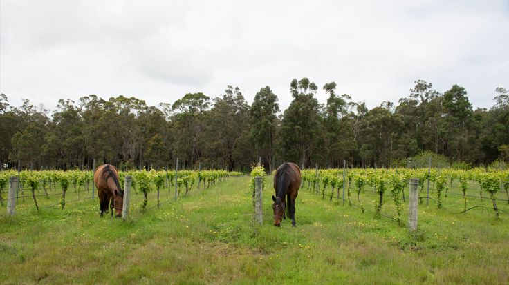 Horses amongst the vines at Woodgate winery