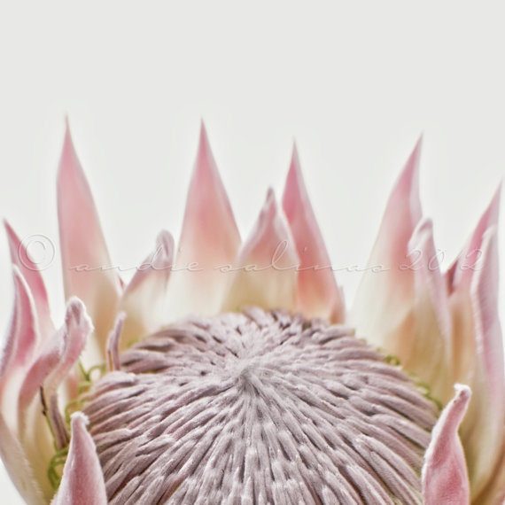 PROTEA CYNAROIDES the largest Protea flower. King Pink Variety. AMAZING…..