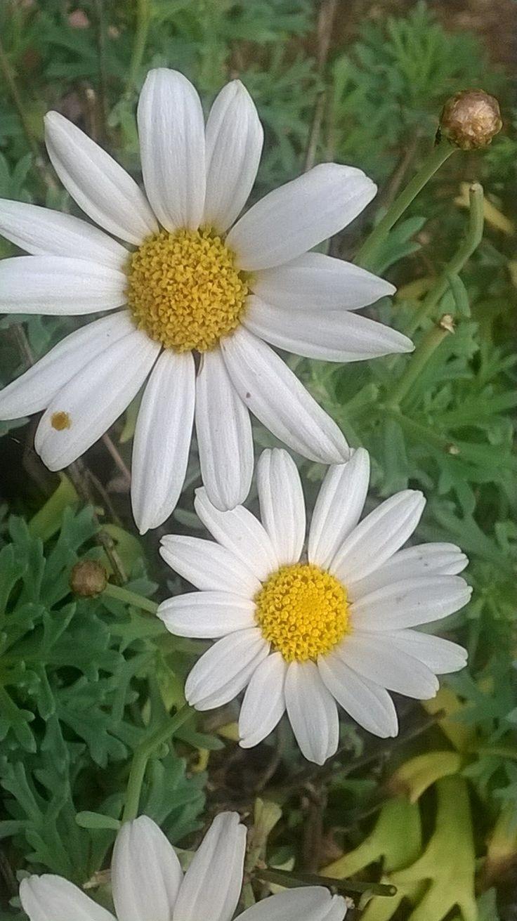 salice in fiore