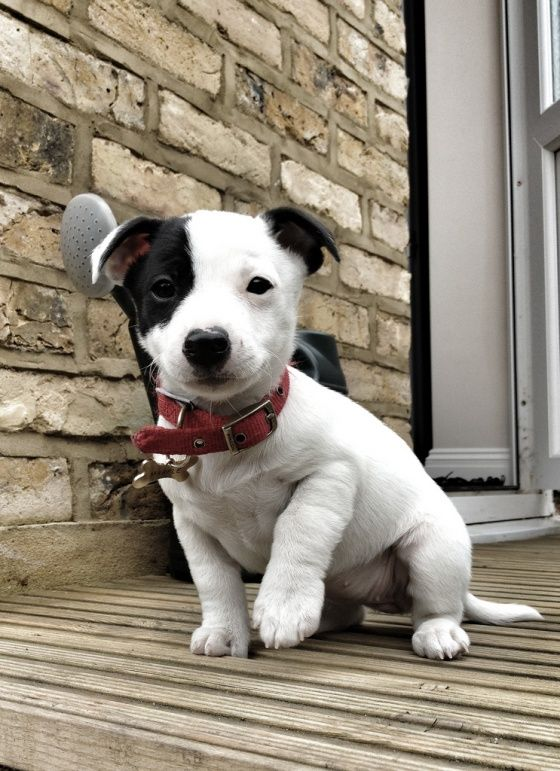 :): Jack Russells, Jack Russell Puppies, Cute Puppies, Old Dogs, Russell Terriers, Cutest Puppies, Jack Russell Dogs, Little Dogs, Animal