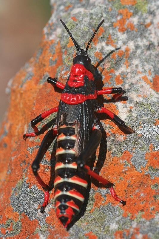 Pyrgomorphic Grasshopper, by Leon Marais.