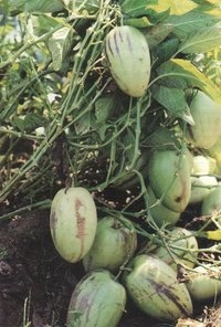 Pepino Dulce or Sweet Pepilo. The pepino dulce fruit resembles a melon in colour and its flavour recalls a succulent mixture of honeydew and cucumber. It is also called pepino melon or melon pear