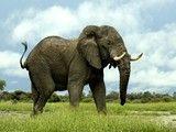 Los elefantes africanos son los animales terrestres más grandes de la Tierra. Superan ligeramente en tamaño a sus primos asiáticos, y se les...