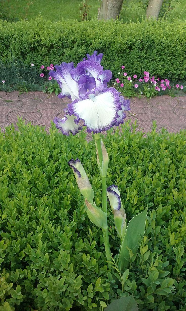 German bearded iris in may 2015