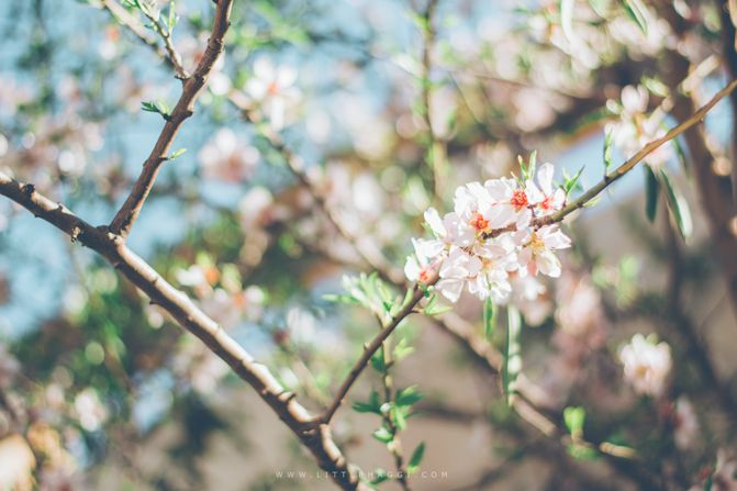 Días de invierno con (c)olor de primavera by Little Haggi http://www.littlehaggi.blogspot.com  #photography #blossoming #blossoms