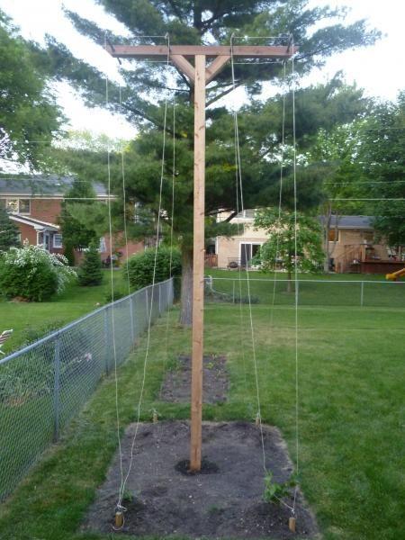 Growing hops