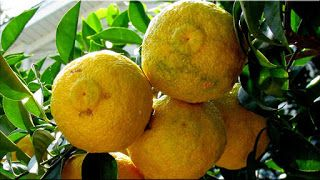 gambar buah yuzu